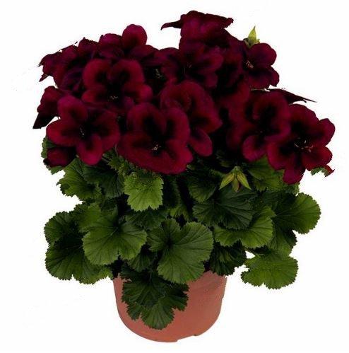 100Pcs/bag Bonsai Dark Red Geranium Flower Plants Pelargonium Peltatum Seeds - $8.82