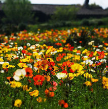 100 Colorful Papaver Rhoeas Flower Seeds Corn Poppy Garden Flowers Home & Garden - $5.09