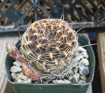 Lobivia wegheiana Clumping South American Cactus 30 Great Peach Flowers