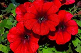 500 Pcs Seeds Nana Compacta Sun Fire Chief Red Petunia Annual Flower - DL - $16.00