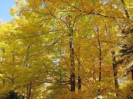 "10 Bare Root of Sugar Maple Tree 12"" - 18"" Seedlings - $53.46"