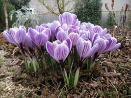 "Dutch Crocus Bulbs ""Pickwick"" (bag of 20) - $21.99"