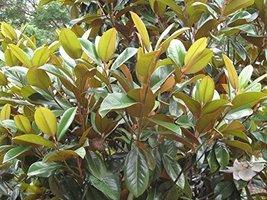 1 Starter Plant of Green Giant Magnolia - $159.39