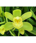 Cym. Picasso Moon 'Green Pastures' Orchid Plant Blooming Size Warm Growe... - $17.99