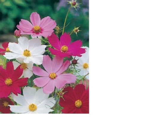 SHIPPED From US,PREMIUM SEED:200 Particles of Cosmos Sensation Mix,Hand-Packaged