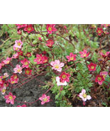 50 seeds - Rose Robe Saxifraga Arendsii Mossy Rockfoil #SFB15 - $17.99