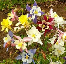 Very Amazing McKana's Giant Columbine Mix Fresh Seeds 10 Variety #IMA33 - $13.99+