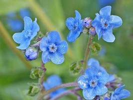 SHIP FROM US 44,000 Chinese Forget-Me-Not Seeds, ZG09 - $106.76