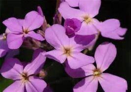 200 Seeds Evening Scented Stock Flower, DIY Decorative Garden Plant SPM02 - $6.99