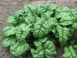 1,000 Giant Noble Spinach Seeds 2019 ( Bulk - Save!!! ) - $23.92