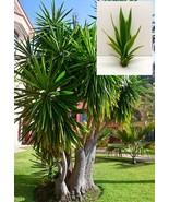 Yucca elephantipes (Spineless Yucca) 1 Plant - $37.44