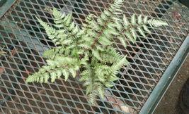 """Japanese Painted Fern - Athyrium niponicum 'Pictum' - 4"""" Pot - $31.79"""