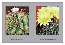 Ferocactus Latispinus - Art Print - $19.99+