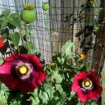 Poppy Pepperbox 200 Flower Seeds - $12.98