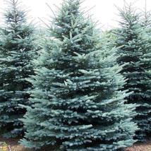 20 COLORADO BLUE SPRUCE SEEDS(Picea pungens) Evergreen Bonsai Tree - $7.98