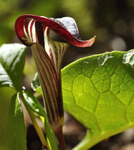 5 Seeds - Jack in The Pulpit Arisaema Triphyllum Shade #SFB15 - $17.99