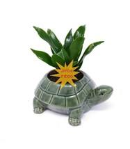 Janet Craig Dragon Tree - Dracaena fragrans - turttle ceramic pot - $20.29