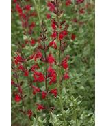 Salvia 'windwalker' - Starter Plant - $47.52