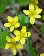 Ship From Us 100 Yellow Avens Geum Aleppicum Moist Wetland Flower Seeds SBR4 - $12.00
