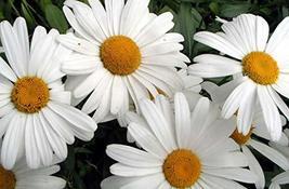 Non GMO Bulk Shasta Daisy Flower Seeds Chrysanthemum Maximum (10 Lbs) - $445.50