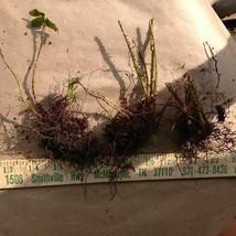 Christmas fern 20 rhizome (Polystichum acrostichoides) image 2