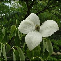16 pcs/pkt Chinese Willow Leaf Magnolia Tree Seeds For Planting - $34.65