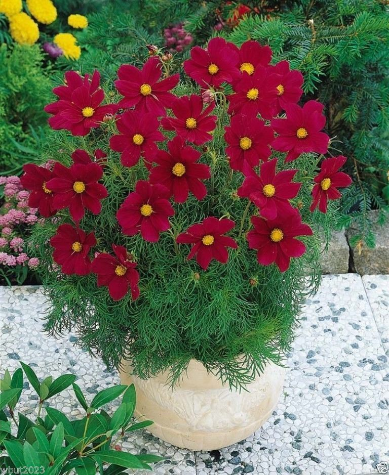 COSMOS DWARF RED - 400 Seeds - Nectar for Bees And Butterflies & Seeds for birds
