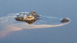 Alligator 13 x 19 Unmatted Photograph - $35.00