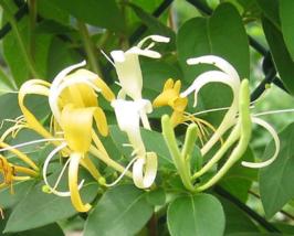 4 Live Plants Hall's Honeysuckle Vines White Yellow Flowers Japanese Lonicera - $47.99