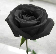 100 Black Rose Seeds--Long Stem, rare color, DIY Home Garden Potted ,Balcony - $7.00
