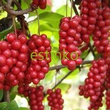 Rare Chinese Herb Schisandra Chinensis Seeds 20pcs/lot Nutrition Vegetable Home  - $7.55