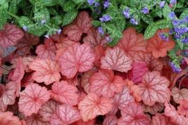"10 Heuchera "" GEORGIA PEACH  - Coral Bells - Live Plant  - Alumroot - Perennial - $67.02"