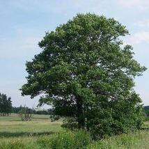 European Alder Tree Seeds (Alnus glutinosa) 50 Seeds - $11.99