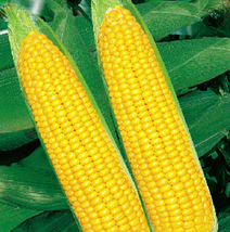 10pcs Yellow Waxy Corn Vegetable Seeds,Very Delicious Edible Vegetable IMA1 - $13.99
