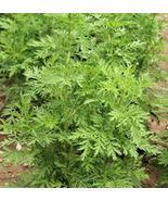1000 Sweet Wormwood Artemisia Annua Sweet Annie Mugwort Sagewort Fragran... - $12.00