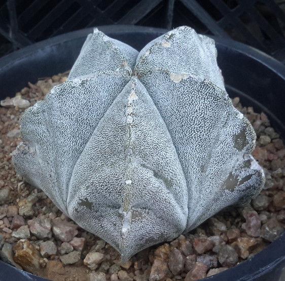 Astrophytum myriostigma 'Bishop Hat' Cactus Group BB