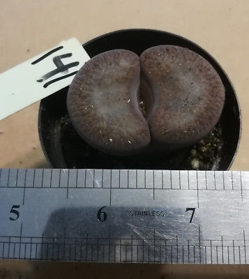 Lithops Variety #141 Living Rock Succulent Plant