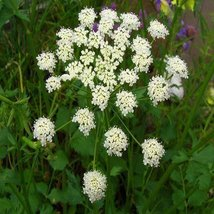 500 Seeds Anise Herb Seeds, Licorice Herb, NON-GMO, Heirloom - $7.99