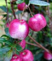 10pcs Tasty Edible Fruits,Rare Red Apple Berry Billardier aongiflora See... - $14.88