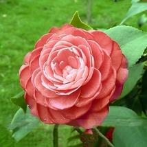 100 Seed Light Fragrant 'Garnet' Rose Bonsai Flowers, DIY Home Flower - $5.99
