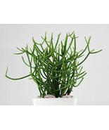 5 Fresh Cuttings Pencil Cactus Euphorbia tirucalli Succulent - $9.98