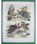 BIRDS Duck Jay Grouse Goose Partridge Cock etc - COLOR Litho Antique Print - $13.77