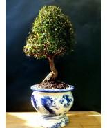 Myrtus Communis Tarentina Bonsai - A special and exotic tree - $221.48