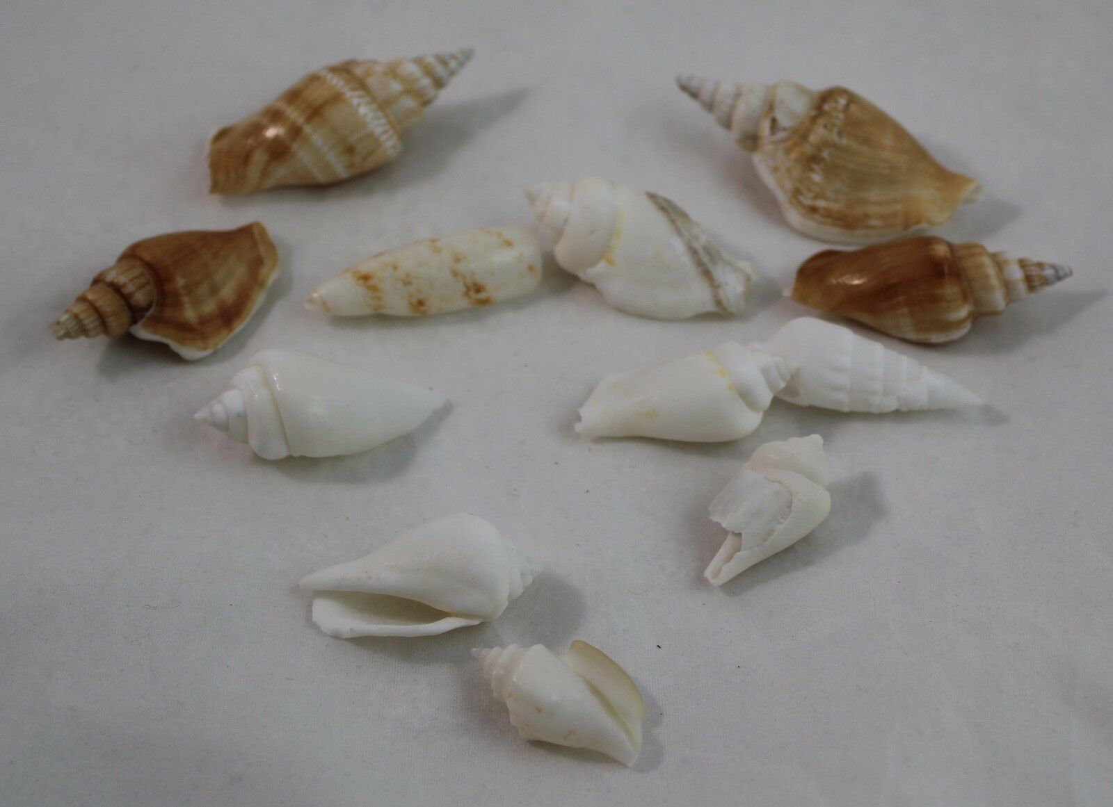 Primary image for Sea Shell lot of 13 Shells Conch Shells assorted