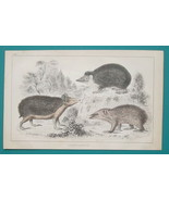 HEDGEHOG Tendrac Tenrec - 1853 Hand Colored Antique Print - $7.46