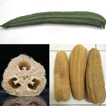 25 Luffa Gourd / Sponge Gourd Seeds, Heirloom Non GMO - $4.99