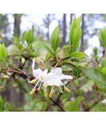 1 Packet of 20 Seeds Winter Honeysuckle - Lonicera Fragrantissima - Caprifoliace - $9.70