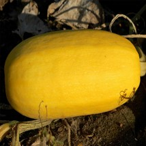 SHIP FROM US VEGETABLE SPAGHETTI WINTER SQUASH SEEDS ~10 LB SEEDS- NON-G... - $321.36