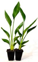 Orange Bird of Paradise - 2 Pack Mature Hardy Easy to Grow Indoor House ... - $39.00