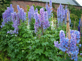 25 Seeds - DELPHINIUM- Pacific Giant Series * Summer Skies Variety - $12.97